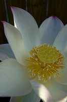 Lotus Flower Open, Mooloolaba, QLD