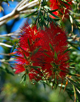 Red Bottlebrush, Sunshine Coast, QLD